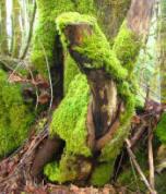 moss_tree